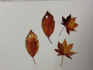 落ち葉の観察画